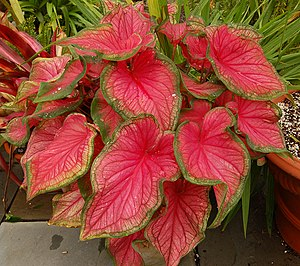 Sorte von Caladium bicolor 'Florida Sweetheart'