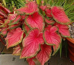 Caladium - Image: Caladium bicolor 'Florida Sweetheart' Plant 2220px