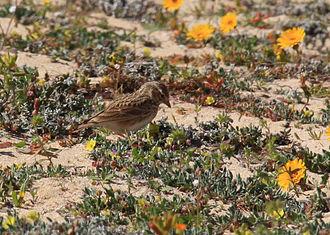 Lesser short-toed lark - On Fuerteventura, Canary Islands, Spain
