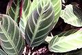 Calathea ecuadoriana 3zz.jpg