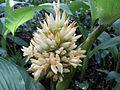 Calathea macrosepala K. Schum en flor.jpg
