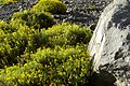 Calceolaria hypericina (3434050112).jpg
