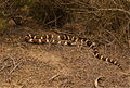 California King Snake (Lampropeltis getulus californiae) (2523832771).jpg