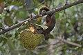 Callosciurus erythraeus thaiwanensis (34310721584).jpg