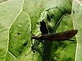 Calopteryx virgo IMG 6669^.jpg