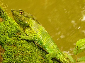 Description de l'image Calotes nemoricola (Pookode Lake, Wayanad, India).jpg.