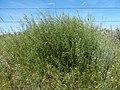 Camelina microcarpa (27315339170).jpg
