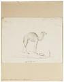 Camelus dromedarius - 1700-1880 - Print - Iconographia Zoologica - Special Collections University of Amsterdam - UBA01 IZ21600061.tif