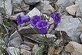 Campanula alpestris-4706 - Flickr - Ragnhild & Neil Crawford.jpg