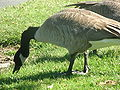 Canada Goose feeding in Redwood City 1.JPG