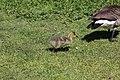 Canada goose - Branta canadensis (27109552637).jpg