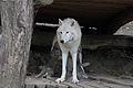 Canis lupus arctos - Tiergarten Schönbrunn 4.jpg