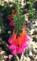 Cantua buxifolia 01.jpg