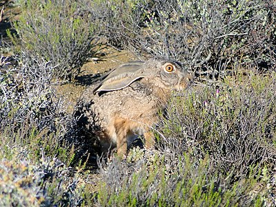 Cape Hare, near Prince Albert, Western Cape, South Africa - panoramio.jpg