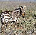 Cape Mountain Zebra (Equus zebra zebra) (32722930276).jpg