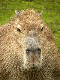 Capibara (4497901928) (3).jpg