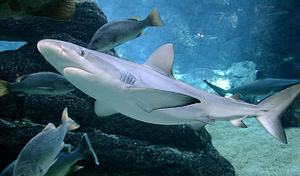 UShaka Marine World - A blacktip shark in the shark aquarium.