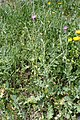 Carduus argentatus subsp acicularis kz2.jpg