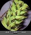 Carex acutiformis sl31.jpg