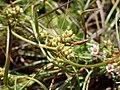 Carex extensa inflorescens (11).jpg