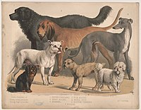 Carnivora, or flesh-eating animals. Family-dogs LCCN2003664022.jpg