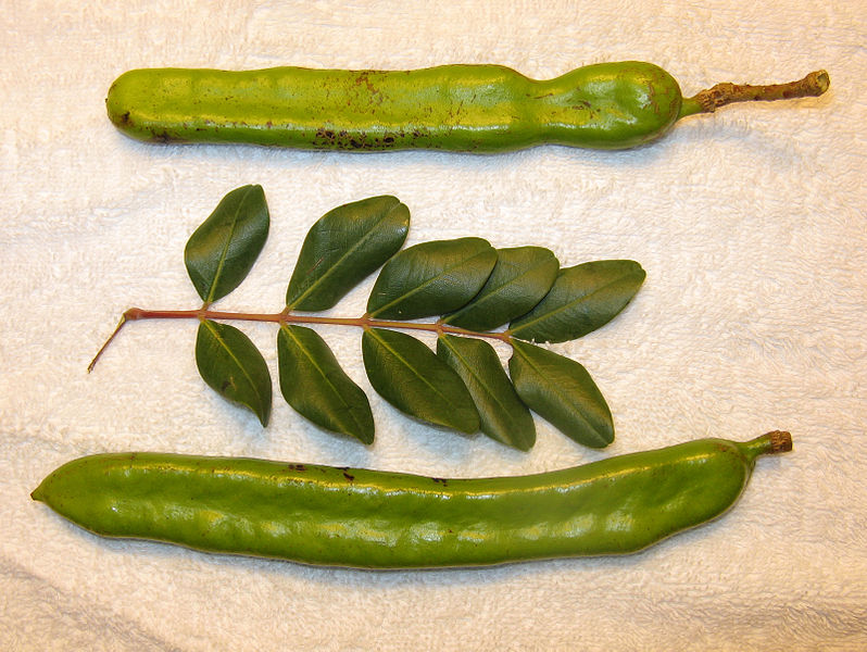 798px Carob pods and leaves in majorca arp