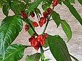 Carolina Reaper Pflanze.jpg