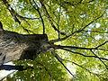 Carpinus betulus (3).JPG