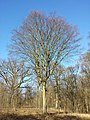 Carpinus betulus sl6.jpg