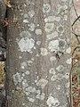 Carpinus orientalis bark.jpg