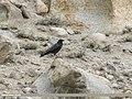 Carrion Crow (Corvus corone) (50060506616).jpg