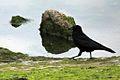Carrion crow, North Wirral Coastal Park, Leasowe (geograph 4496153).jpg