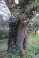 Carvalho-roble situado no lugar da Carvalheira, Guimarei - 16.jpg