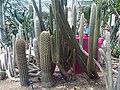 Caryophyllales - Cactaceae Kew Gardens - 2.jpg