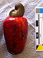 Cashew Colombia Anacardium occidentale MB.jpg