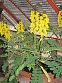 Cassia didymobotrya.jpg