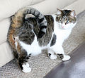 Cat curly tail2.JPG
