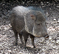 Image Result For Three Little Javelinas