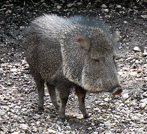 Tim Flannery - The Chacoan Peccary can be brought from Paraguay to North America, to replace the extinct Flat-headed Peccary