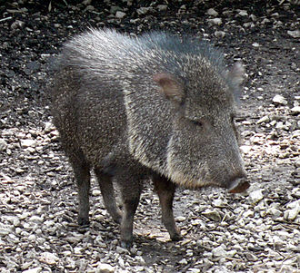 Botanical Garden and Zoo of Asunción - The tagua, or Chaco peccary (Catagonus wagneri), the emblem of the zoo.