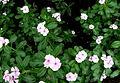 Catharanthus roseus 3.JPG