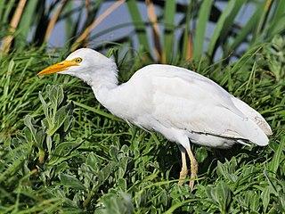 Cattle egret cosmopolitan species of heron