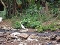 Cattle Egret - കാലിമുണ്ടി കൊക്ക് 02.JPG