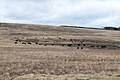 Cattle on Barlaes Farm - panoramio.jpg