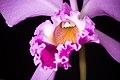 Cattleya warneri (sib. 'Rio Casca' x 'Carolina') T.Moore ex R.Warner, Select Orchid. Pl. t. 8 (1862) (27065953228).jpg