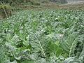 Cauliflower1JPG (2).JPG