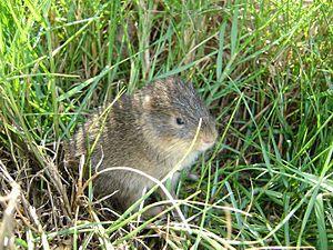 Santa Catarina's guinea pig - Image: Cavia intermedia f 825