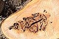 Cavités dans des bûches de peuplier blanc (63).JPG