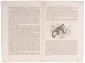 Cebus apella - 1700-1880 - Print - Iconographia Zoologica - Special Collections University of Amsterdam - UBA01 IZ20200035.tif