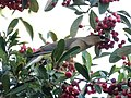Cedar Waxwing (26615487988).jpg